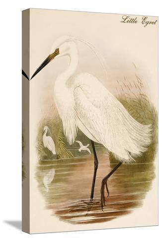 Little Egret-John Gould-Stretched Canvas Print