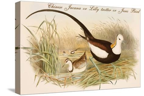 Chinese Jacana or Lilly Trotter or Jesus Bird-John Gould-Stretched Canvas Print