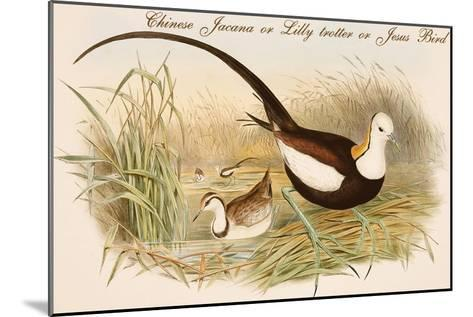 Chinese Jacana or Lilly Trotter or Jesus Bird-John Gould-Mounted Art Print