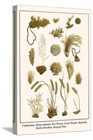 Cnidarians, Moss Animals, Sea Worm, Coral Weeds, Hydroid, Bottle Brushes, Serpent Star-Albertus Seba-Stretched Canvas Print