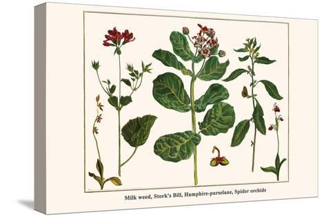 Milk Weed, Stork's Bill, Hamphire-Purselane, Spider Orchids-Albertus Seba-Stretched Canvas Print