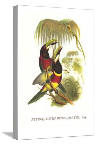 Red Necked or Double Collared Aracari-John Gould-Stretched Canvas Print