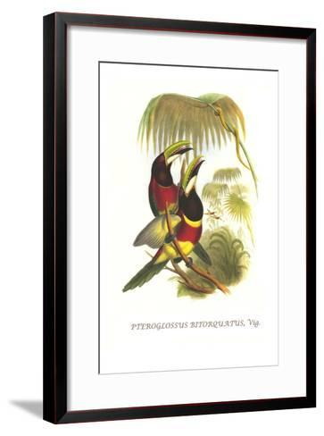 Red Necked or Double Collared Aracari-John Gould-Framed Art Print