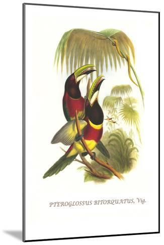 Red Necked or Double Collared Aracari-John Gould-Mounted Art Print