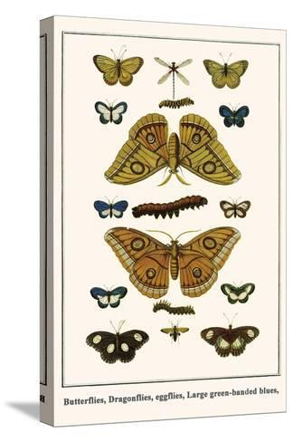 Butterflies, Dragonflies, Eggflies, Large Green-Banded Blues,-Albertus Seba-Stretched Canvas Print