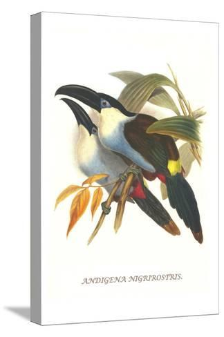 Blsck Billed Mountain Toucan-John Gould-Stretched Canvas Print