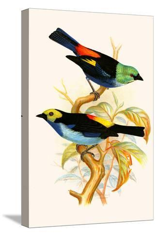 Superb Tanager, Paradise Tanager-F^w^ Frohawk-Stretched Canvas Print