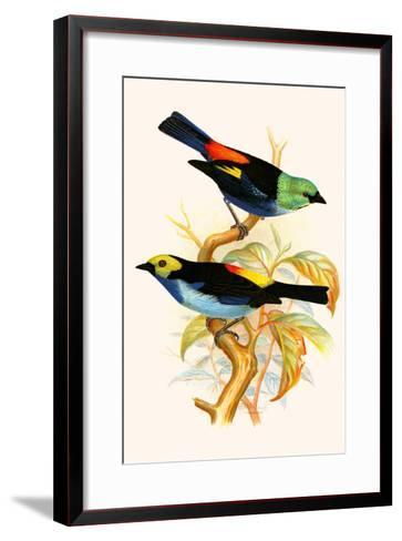 Superb Tanager, Paradise Tanager-F^w^ Frohawk-Framed Art Print