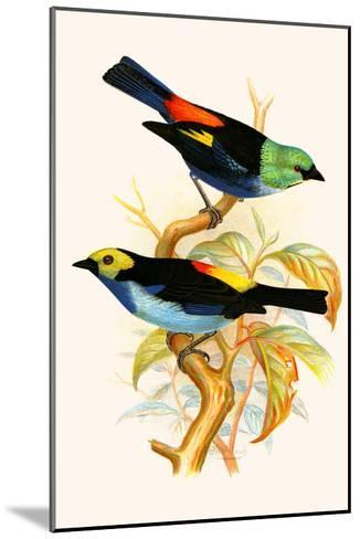 Superb Tanager, Paradise Tanager-F^w^ Frohawk-Mounted Art Print