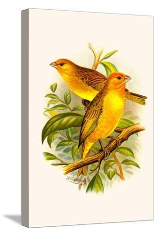 Safron Finch or Brazilian Bunting or Brazilian Canary-F^w^ Frohawk-Stretched Canvas Print