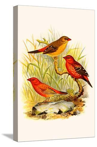 Common Amaduvade and African Fire Finch-F^w^ Frohawk-Stretched Canvas Print