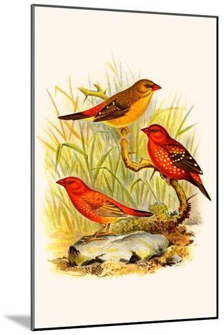 Common Amaduvade and African Fire Finch-F^w^ Frohawk-Mounted Art Print