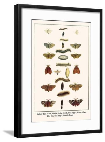 Yellow Tail Moth, White Satin, Moth, Oak Eggar, Caterpillar, Fly, Garden Tiger, Woolly Bear-Albertus Seba-Framed Art Print