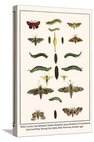 Moths, Coccoon, Lime Hawkmoth, Elephant Hawkmoth, Spurge Hawkmoth, Privet Hawkmoth, etc.-Albertus Seba-Stretched Canvas Print