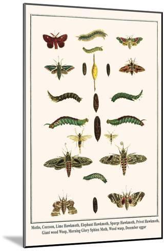 Moths, Coccoon, Lime Hawkmoth, Elephant Hawkmoth, Spurge Hawkmoth, Privet Hawkmoth, etc.-Albertus Seba-Mounted Art Print