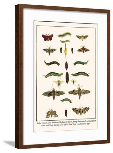 Moths, Coccoon, Lime Hawkmoth, Elephant Hawkmoth, Spurge Hawkmoth, Privet Hawkmoth, etc.-Albertus Seba-Framed Art Print