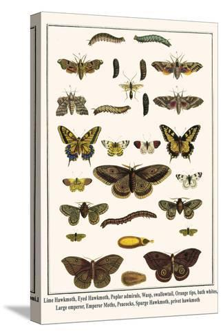 Lime Hawkmoth, Eyed Hawkmoth, Poplar Admirals, Wasp, Swallowtail, Orange Tips, Bath Whites, etc.-Albertus Seba-Stretched Canvas Print