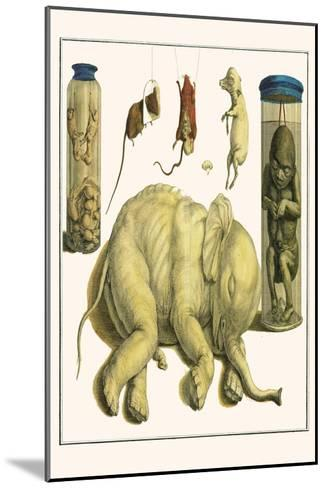 Asiatic Elephant, Human Fetus, Sheep Embryo, Pig Embryo, Mice-Albertus Seba-Mounted Art Print