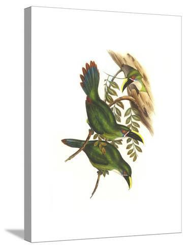 White Throated Toucanet-John Gould-Stretched Canvas Print