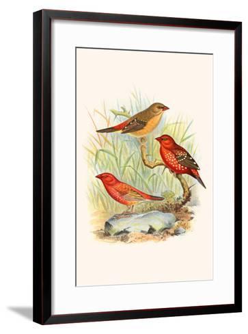 Amaduvade Waxbill-F^w^ Frohawk-Framed Art Print