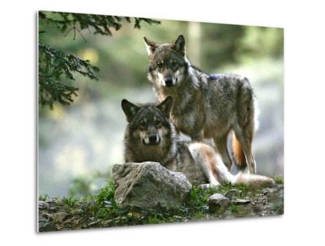 Asap Entertainment Plays with Wolves-Lionel Cironneau-Metal Print