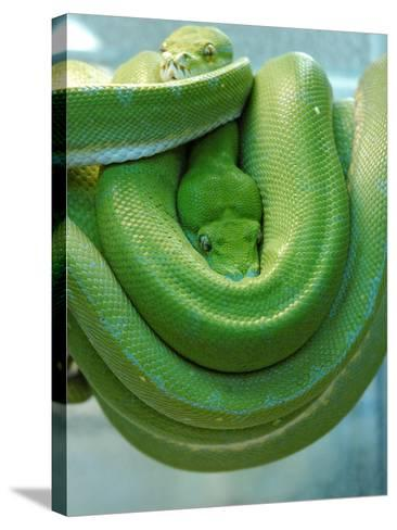 Pets Special Snakes-Mark Gilliland-Stretched Canvas Print
