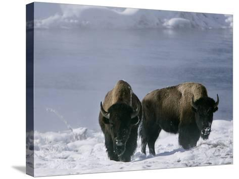 Norton Yellowstone-Laura Rauch-Stretched Canvas Print