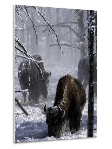 Norton Yellowstone-Laura Rauch-Metal Print