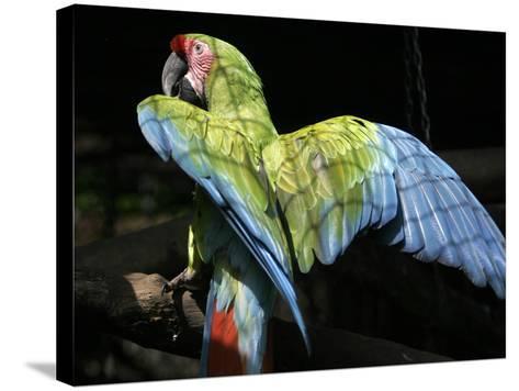 APTOPIX Costa Rica Endangered Macaws-Kent Gilbert-Stretched Canvas Print