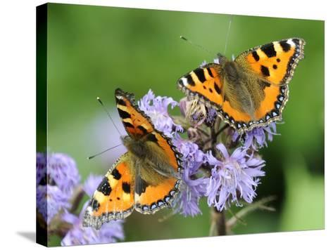 DEU Wetter Sschmetterling-Winfried Rothermel-Stretched Canvas Print
