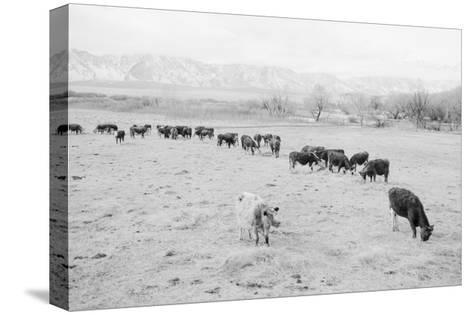 Cattle in South Farm-Ansel Adams-Stretched Canvas Print