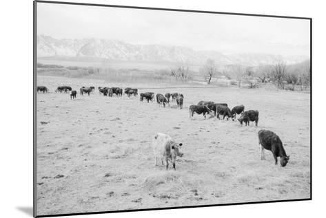 Cattle in South Farm-Ansel Adams-Mounted Art Print