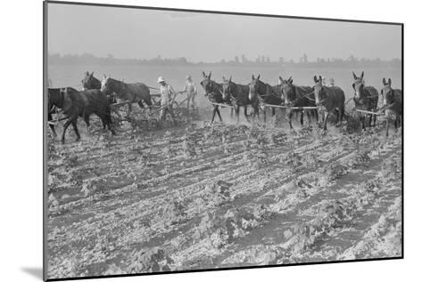 Cultivating Cotton-Dorothea Lange-Mounted Art Print