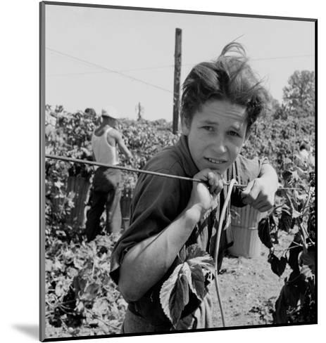 Portrait of a Migratory Boy Picking Hops-Dorothea Lange-Mounted Art Print