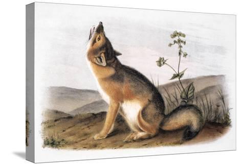 Kit Fox (Vulpes Velox)-John James Audubon-Stretched Canvas Print