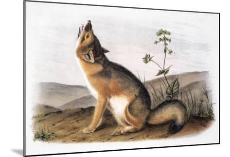 Kit Fox (Vulpes Velox)-John James Audubon-Mounted Giclee Print