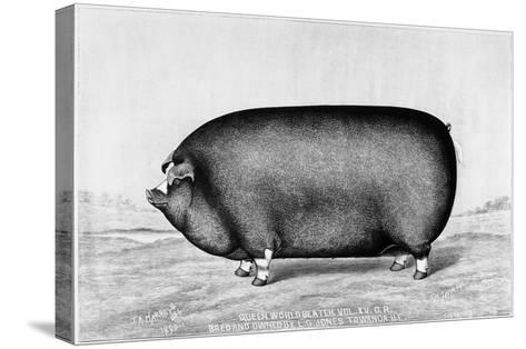 American Pig, 1890--Stretched Canvas Print