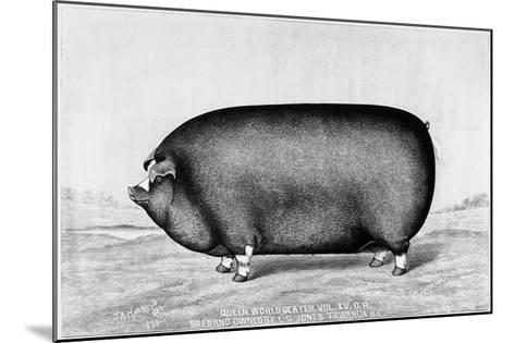 American Pig, 1890--Mounted Giclee Print