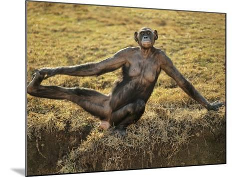 Bonobo Female Stretching, Pan Paniscus, Native to Congo (DRC)-Frans Lanting-Mounted Photographic Print