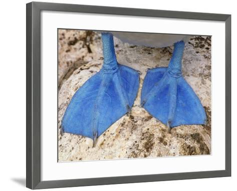 Blue-Footed Booby Feet, Sula Nebouxii, Galapagos Islands-Frans Lanting-Framed Art Print