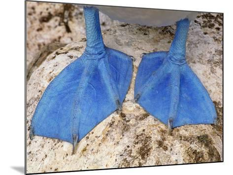 Blue-Footed Booby Feet, Sula Nebouxii, Galapagos Islands-Frans Lanting-Mounted Photographic Print