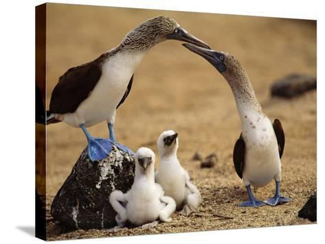 Blue-Footed Booby Pair with Chicks, Sula Nebouxii, Galapagos Islands-Frans Lanting-Stretched Canvas Print
