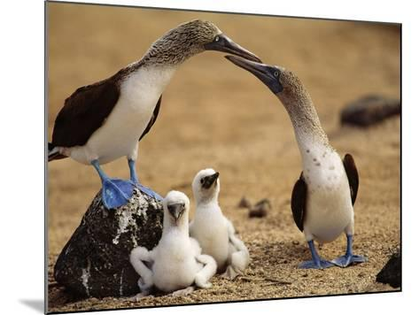 Blue-Footed Booby Pair with Chicks, Sula Nebouxii, Galapagos Islands-Frans Lanting-Mounted Photographic Print
