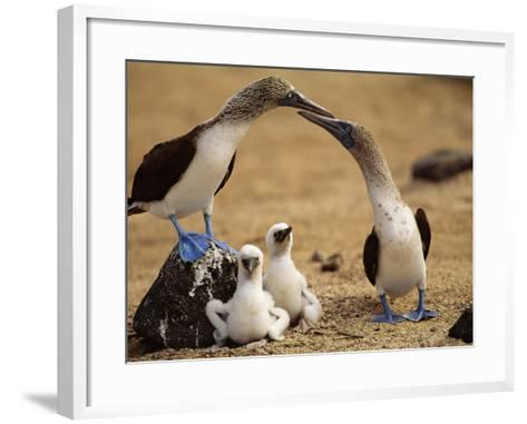 Blue-Footed Booby Pair with Chicks, Sula Nebouxii, Galapagos Islands-Frans Lanting-Framed Art Print