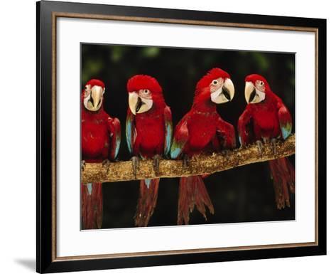 Red-And-Green Macaws on Branch, Ara Chloroptera, Tambopata National Reserve, Peru-Frans Lanting-Framed Art Print