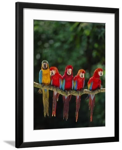 Scarlet Macaw, Ara Chloroptera, and Blue-And-Yellow Macaw, Ara Ararauna, Tambopata Nat'l Res, Peru-Frans Lanting-Framed Art Print
