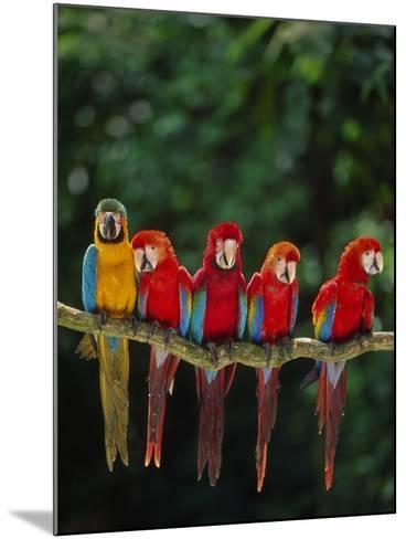 Scarlet Macaw, Ara Chloroptera, and Blue-And-Yellow Macaw, Ara Ararauna, Tambopata Nat'l Res, Peru-Frans Lanting-Mounted Photographic Print