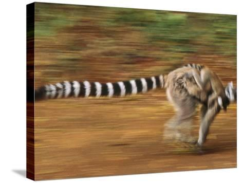 Ring-Tailed Lemur Running with Young, Lemur Catta, Berenty Reserve, Madagascar-Frans Lanting-Stretched Canvas Print