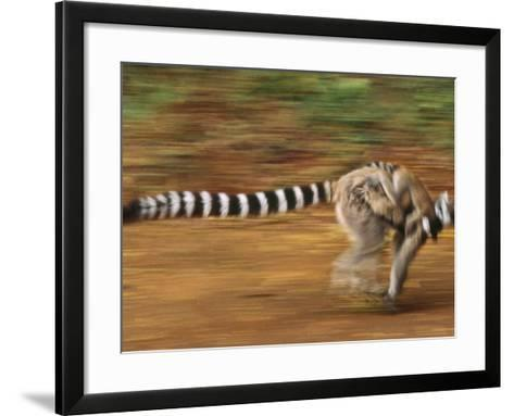Ring-Tailed Lemur Running with Young, Lemur Catta, Berenty Reserve, Madagascar-Frans Lanting-Framed Art Print