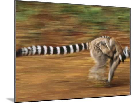 Ring-Tailed Lemur Running with Young, Lemur Catta, Berenty Reserve, Madagascar-Frans Lanting-Mounted Photographic Print
